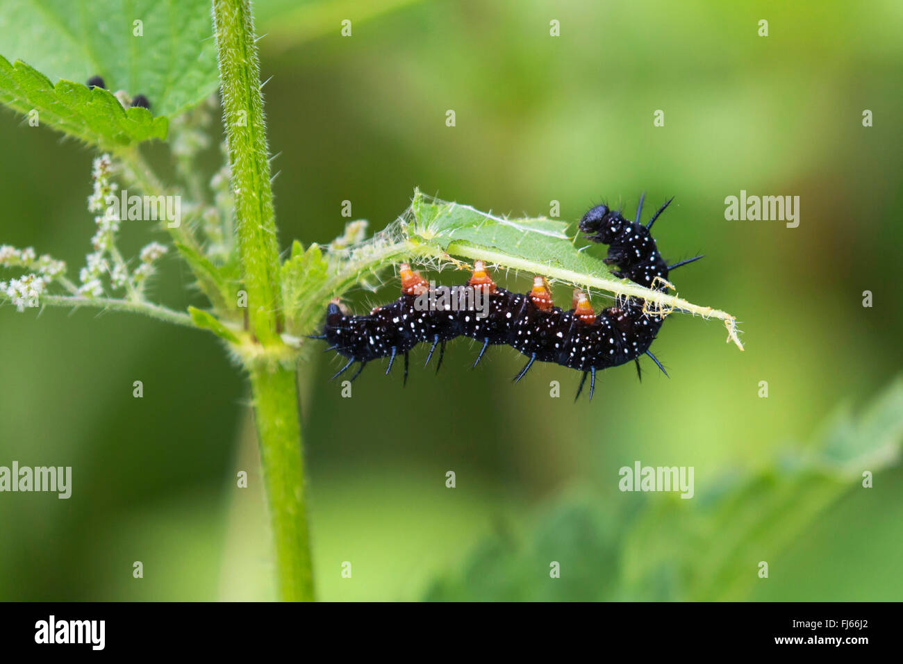 Peacock butterfly, European Peacock (Inachis io, Nymphalis io), caterpillar feeds on nettle leaf, Germany, Bavaria - Stock Image