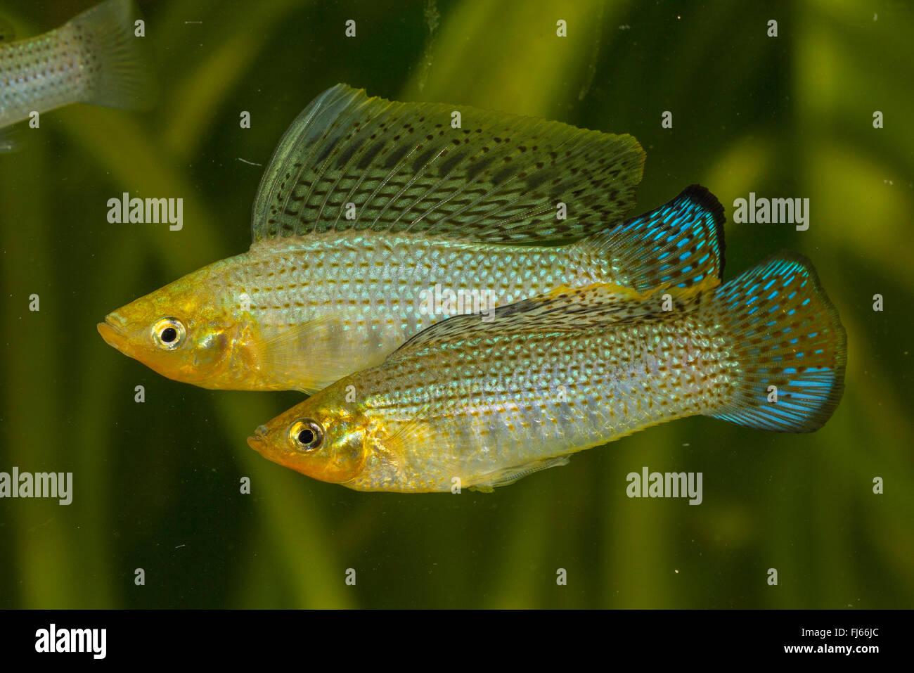 Sailfin molly, Marbeled Molly (Mollienesia latipinna, Poecilia latipinna), two male rivals Stock Photo