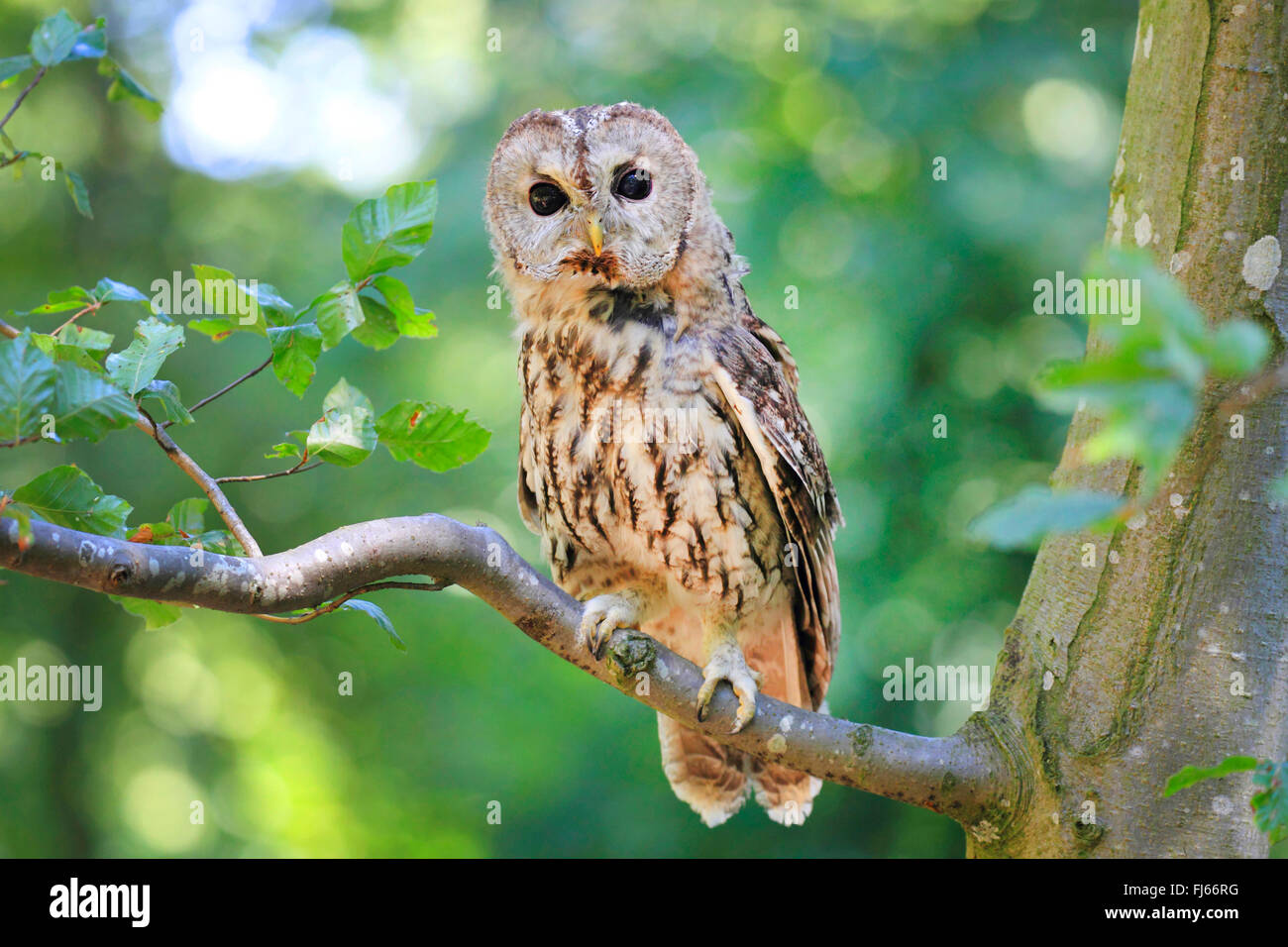 Eurasian tawny owl (Strix aluco), sits on a branch, Germany - Stock Image