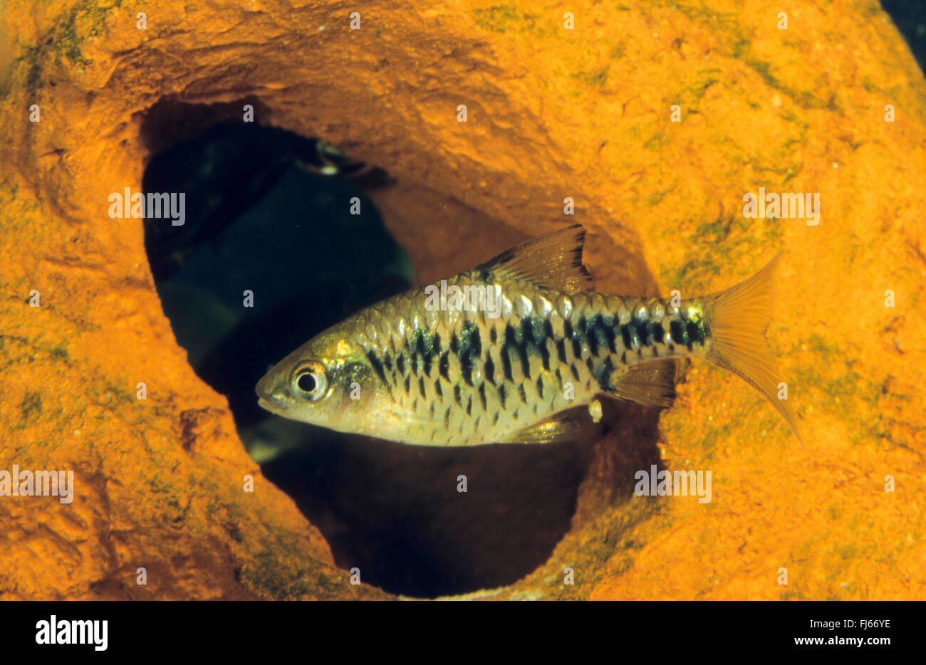 Checkered barb, Checkerboard, Island barb (Oliotius oligolepis, Puntius oligolepis, Capoeta oligolepis), swimming - Stock Image