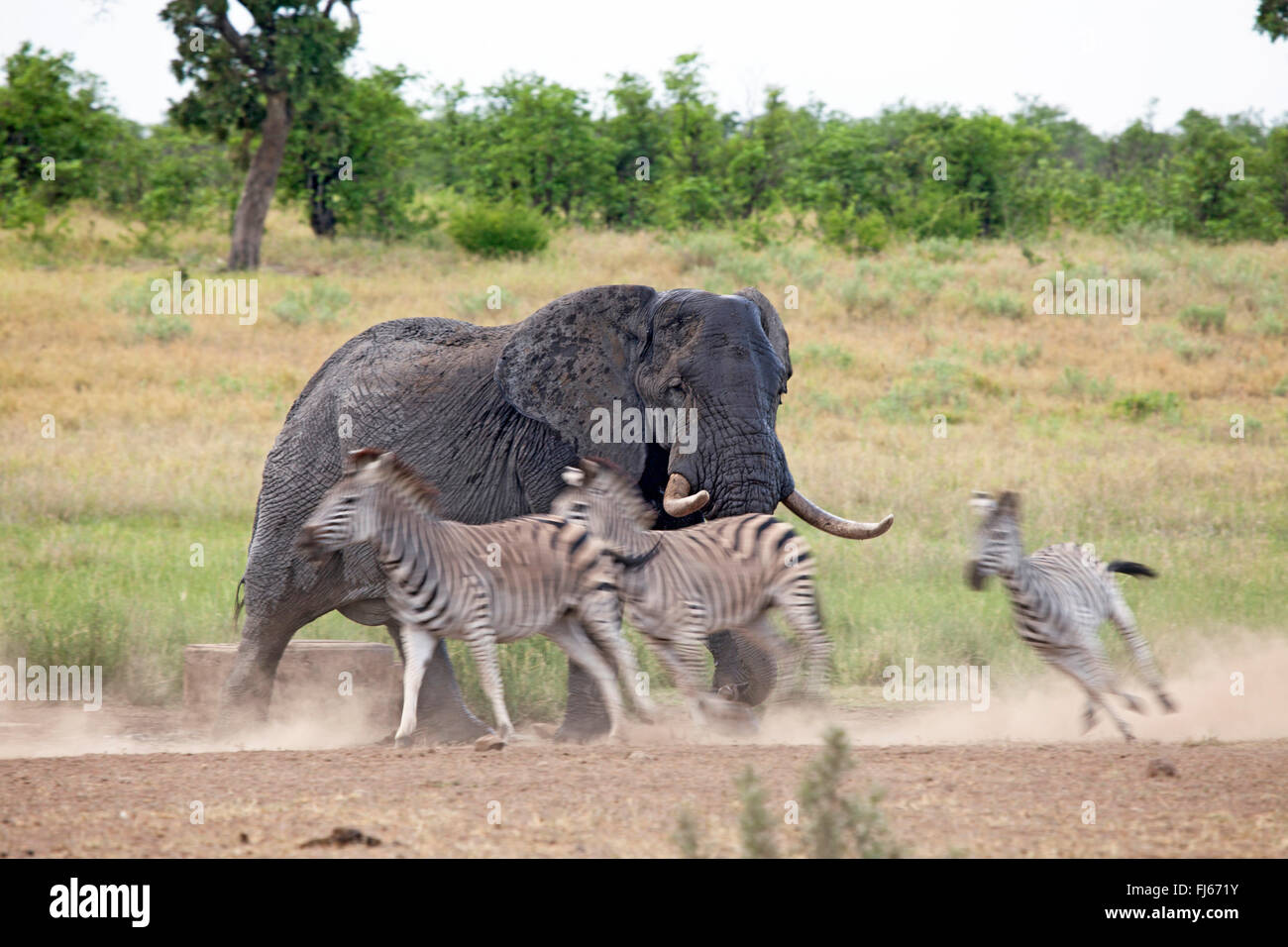 African elephant (Loxodonta africana), chasing zebras at a water place, South Africa, Krueger National Park - Stock Image