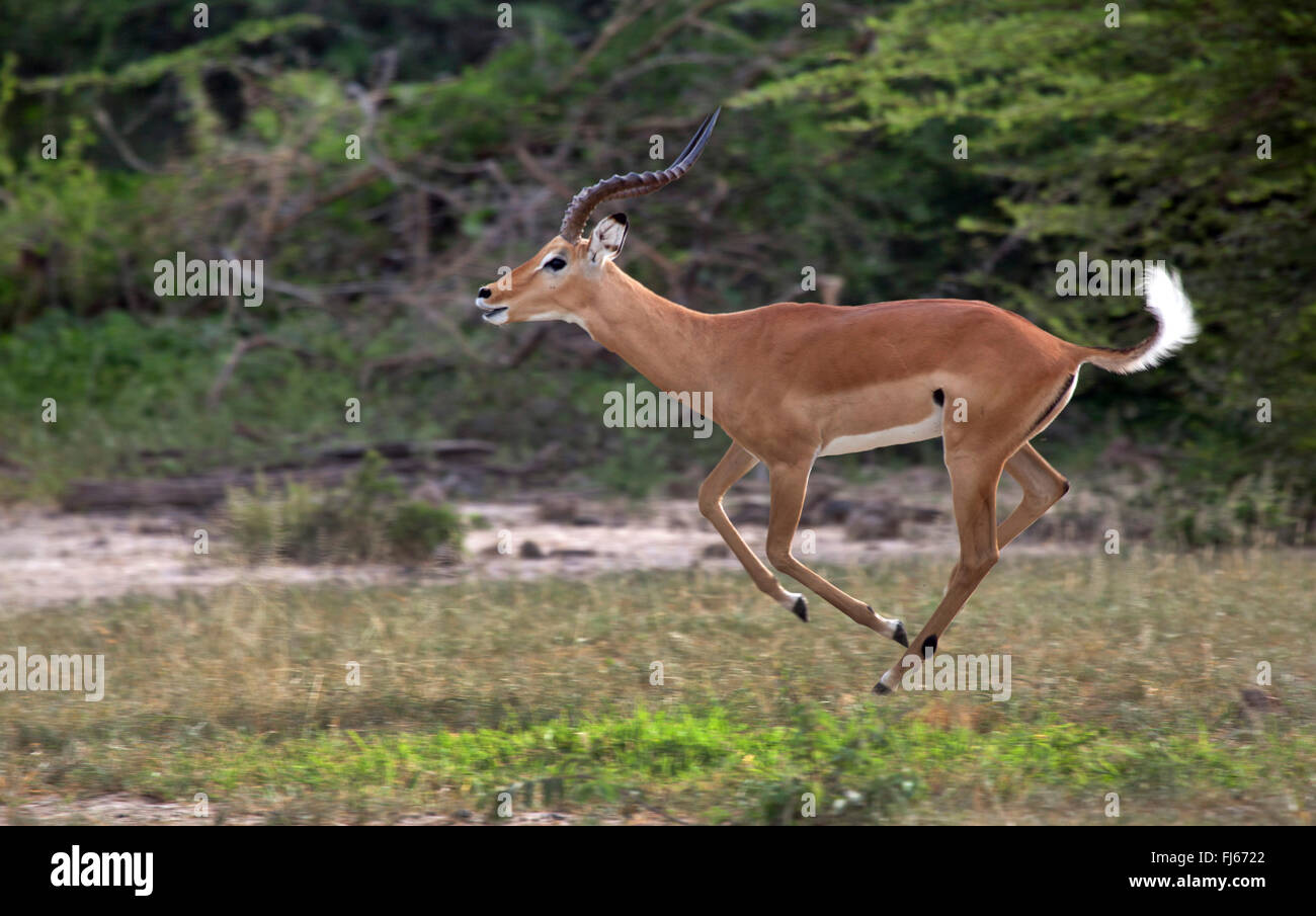 impala (Aepyceros melampus), running male, side view, South Africa - Stock Image