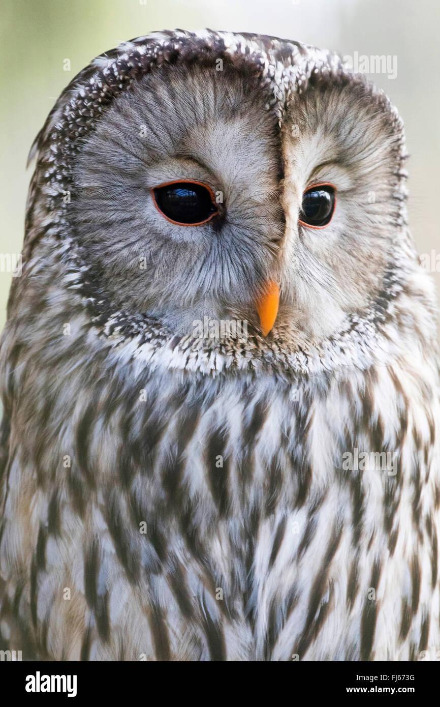 ural owl (Strix uralensis), half-length portrait, side view - Stock Image