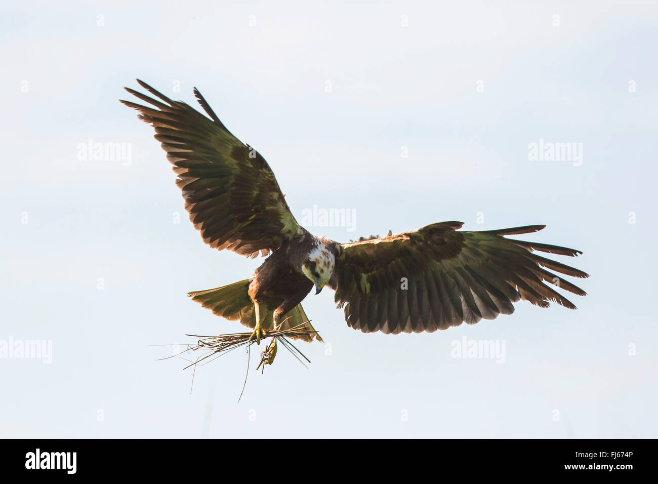 Western Marsh Harrier (Circus aeruginosus), female flying with nesting material in the clutches, Germany, Bavaria, - Stock Image