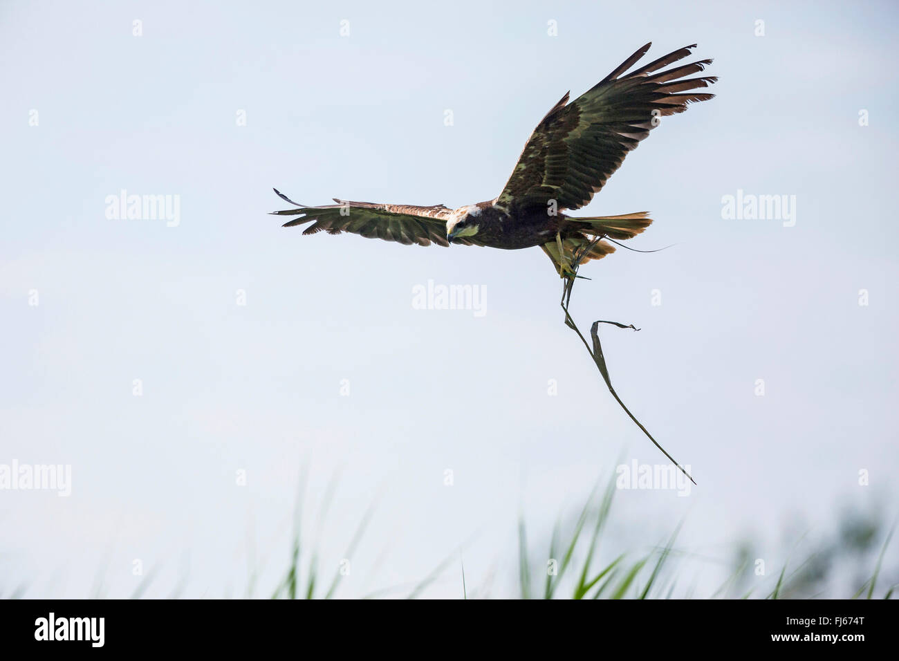 Western Marsh Harrier (Circus aeruginosus), female flying with reed in the clutches, Germany, Bavaria, Oberbayern, - Stock Image