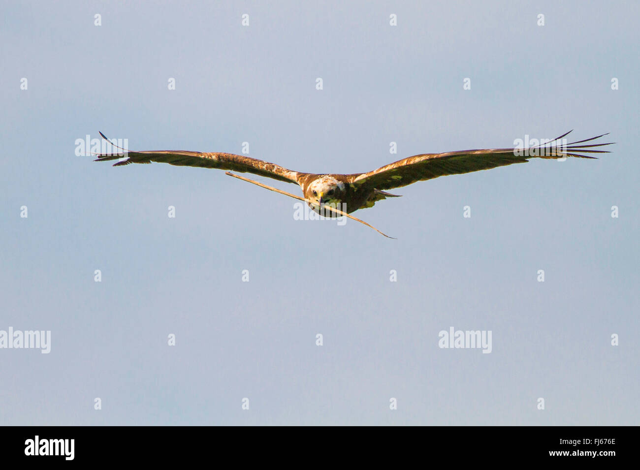 Western Marsh Harrier (Circus aeruginosus), female flying with nesting material in the bill, Germany, Bavaria, Oberbayern, - Stock Image