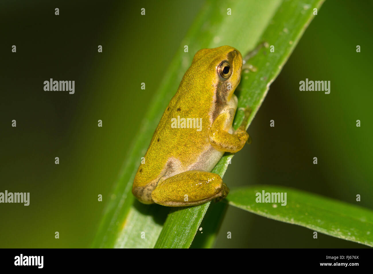 European treefrog, common treefrog, Central European treefrog (Hyla arborea), juvenile, after the end of the metamorphosis, - Stock Image