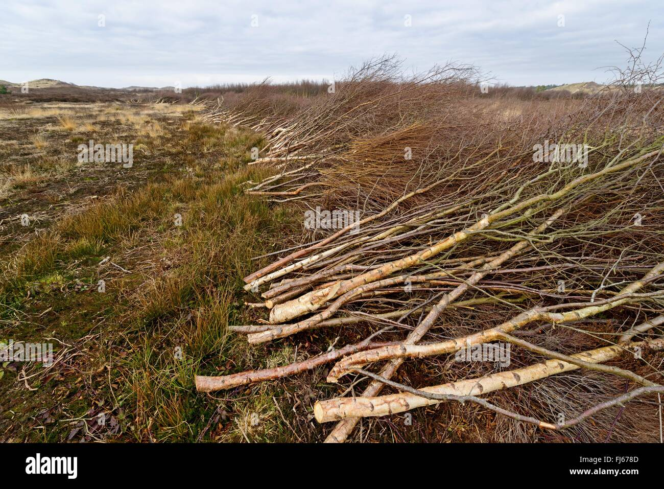 cut off birch branches in heath landscape, Netherlands, Texel - Stock Image