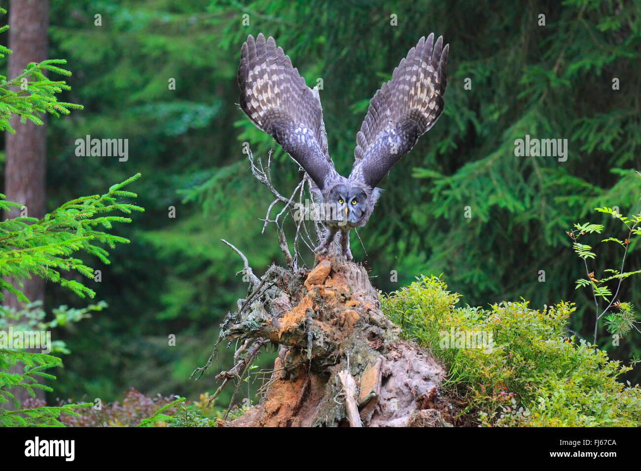 great grey owl (Strix nebulosa), in flight in forest, Germany - Stock Image