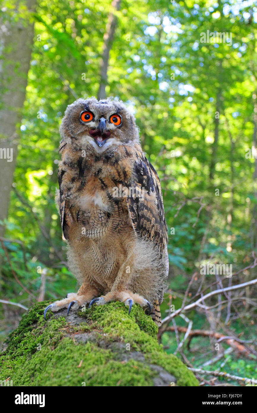 northern eagle owl (Bubo bubo), sits on a mossy stone calling, Germany - Stock Image