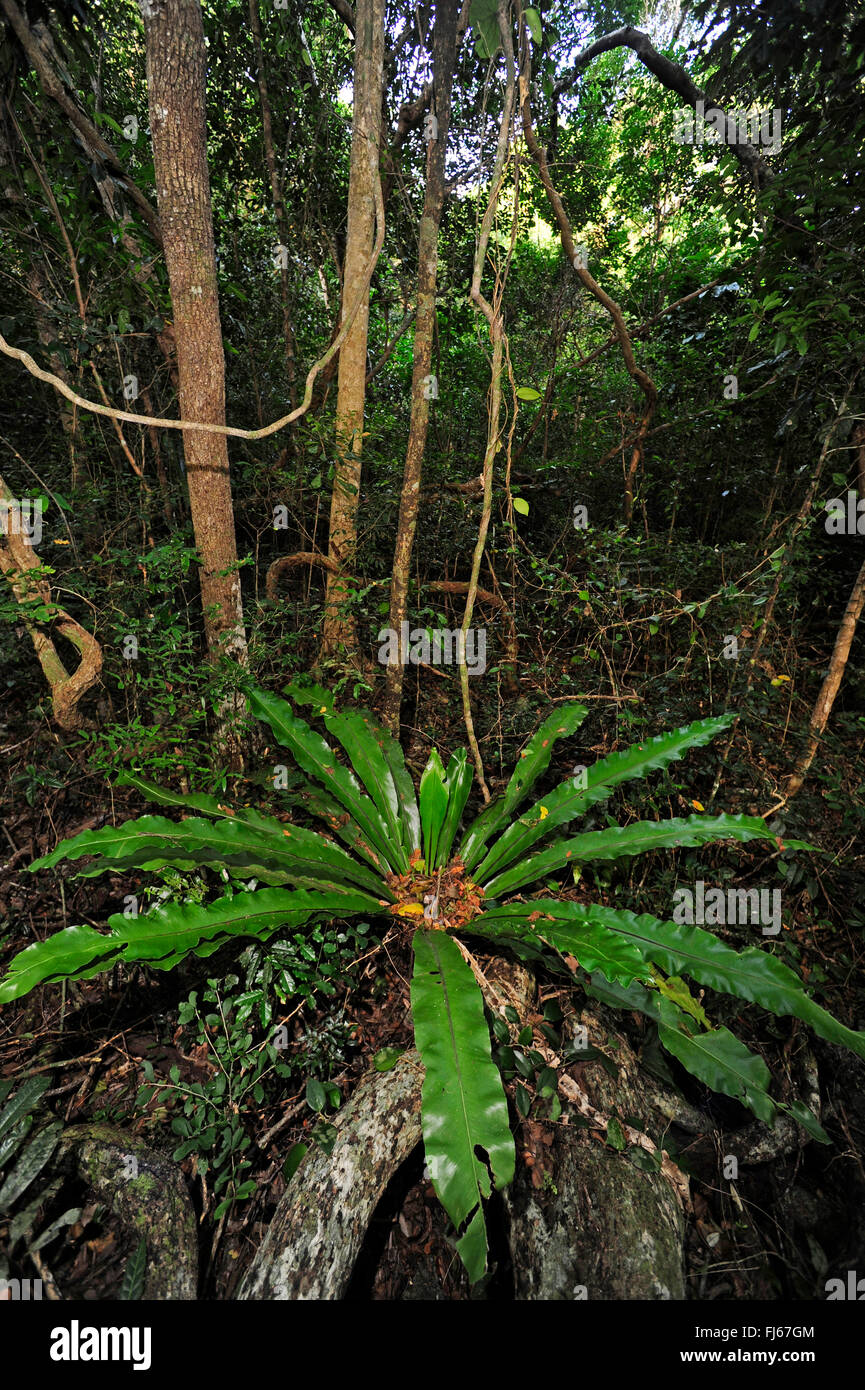 undergrowth consists of ferns in rain forest, New Caledonia, Ile des Pins - Stock Image