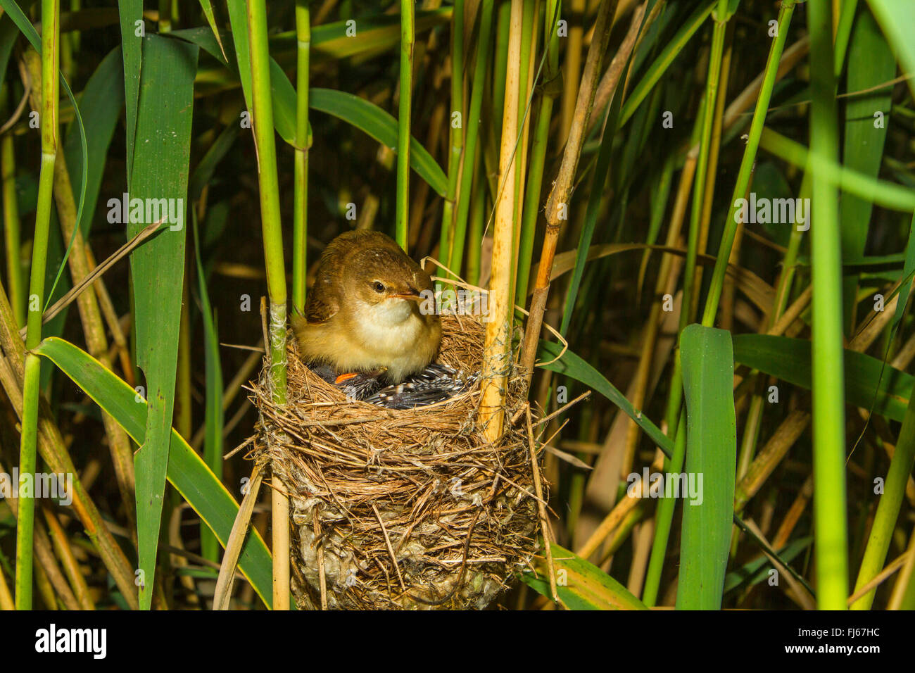 Eurasian cuckoo (Cuculus canorus), reed warbler gathering under the wings a six days old young cuckoo in the nest, - Stock Image