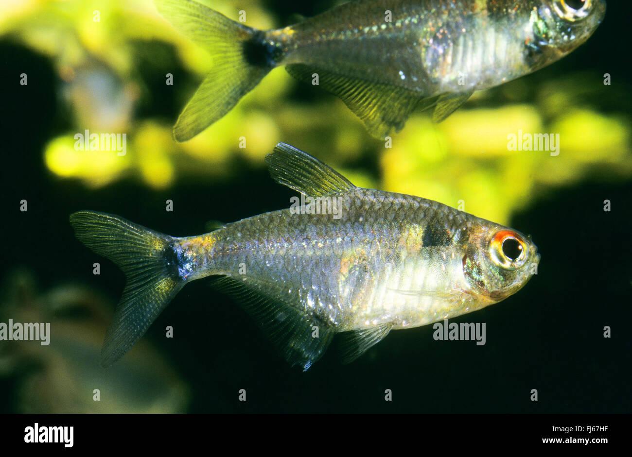 Beacon Fish Beacon Tetra Head And Taillight Tetra Hemigrammus