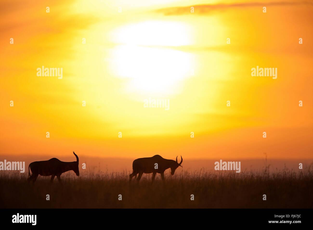 topi, tsessebi, korrigum, tsessebe (Damaliscus lunatus jimela), silhouettes of two topis at sunset, Kenya, Masai - Stock Image