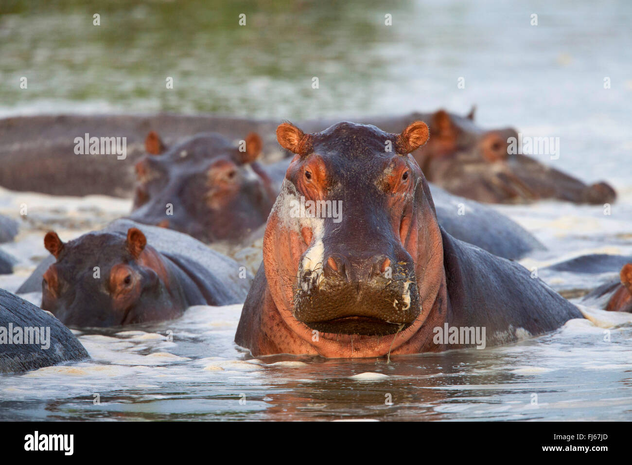 hippopotamus, hippo, Common hippopotamus (Hippopotamus amphibius), herd in a river, South Africa - Stock Image