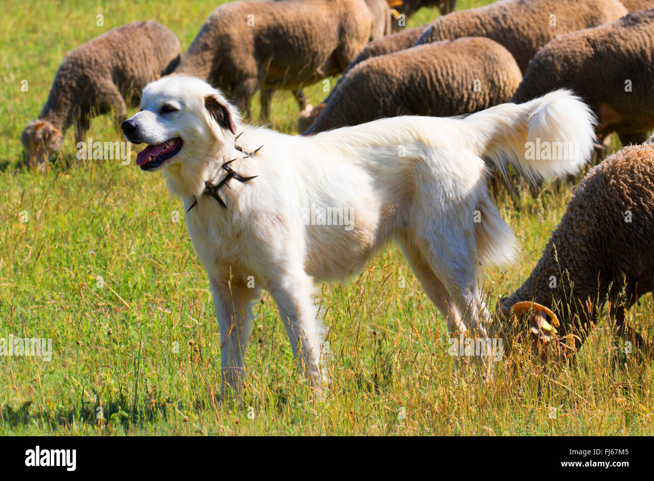 livestock guardian dog with prong collar tending a flock of sheep, Germany - Stock Image