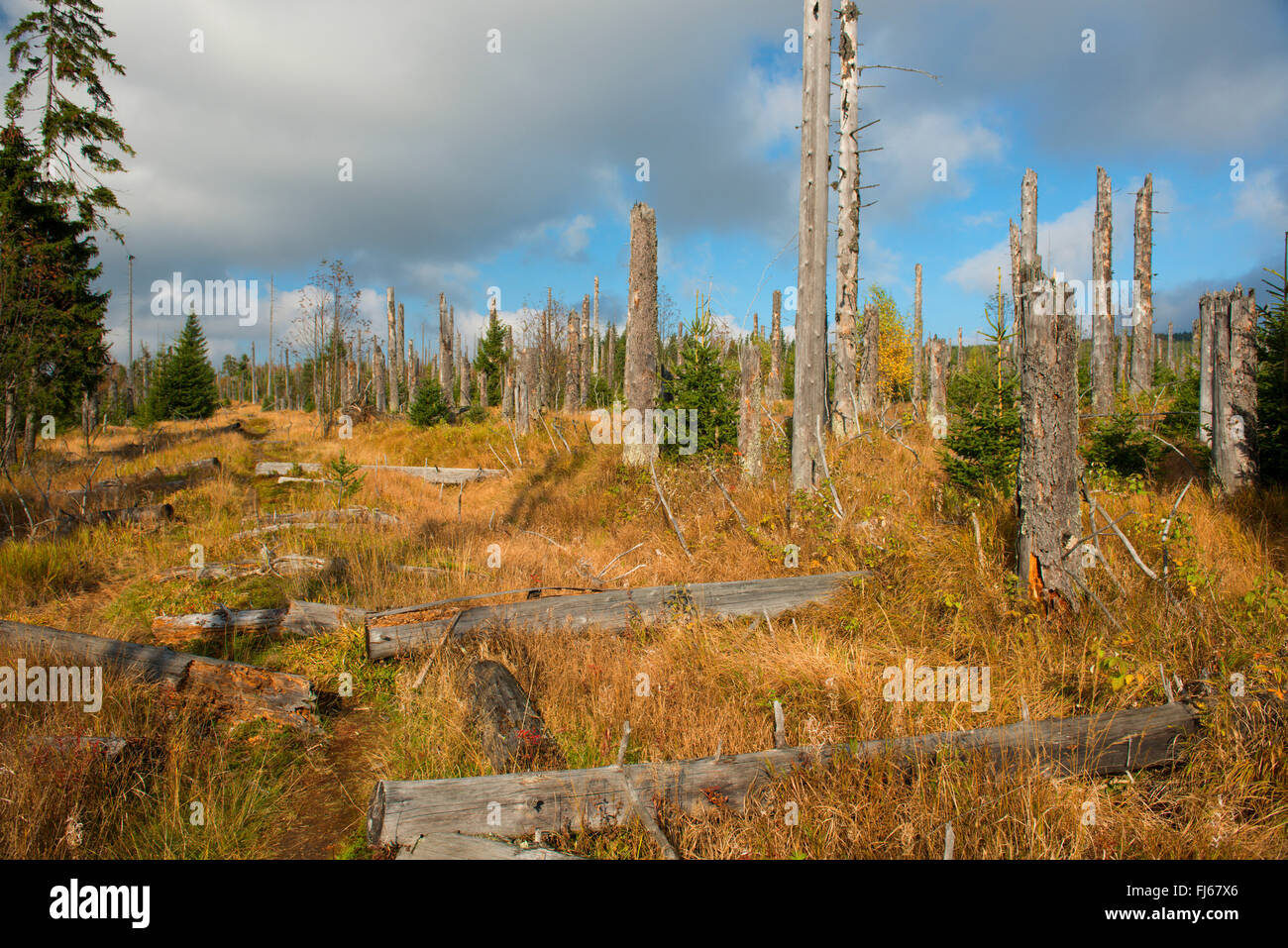 wind throw of trees after stormy weather, Germany, Bavaria, Bavarian Forest National Park - Stock Image