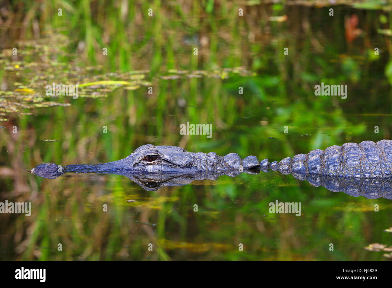 American alligator (Alligator mississippiensis), portraet with mirror image, USA, Florida, Shark Valley Everglades - Stock Image