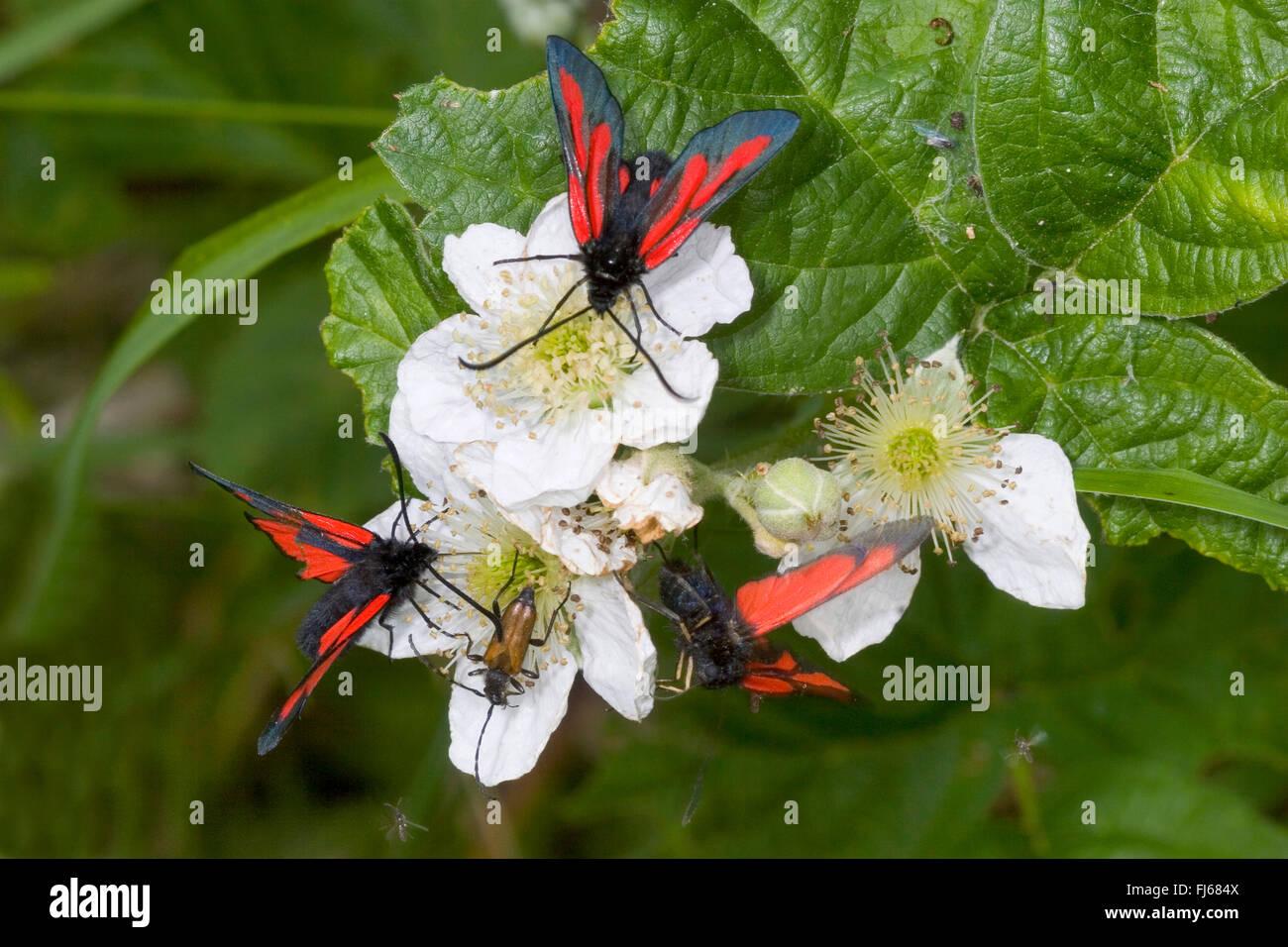 Woodland Burnet (Zygaena osterodensis, Zygaena scabiosae), three woodland burnets on white blossoms, Germany - Stock Image