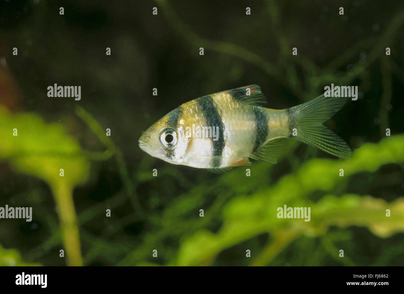 Sumatra barb, tiger barb (Puntius tetrazona, Barbus tetrazona), swimming Stock Photo