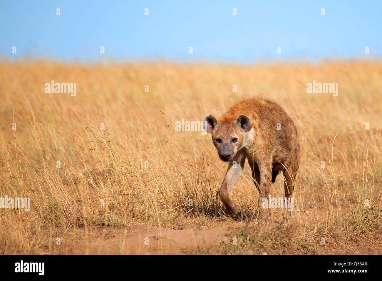 spotted hyena (Crocuta crocuta), walks in savannah, Kenya, Masai Mara National Park Stock Photo