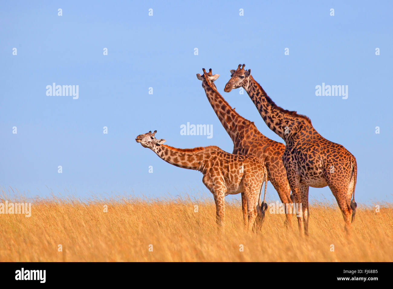 Masai giraffe (Giraffa camelopardalis tippelskirchi), three giraffes in savannah, Kenya, Masai Mara National Park - Stock Image