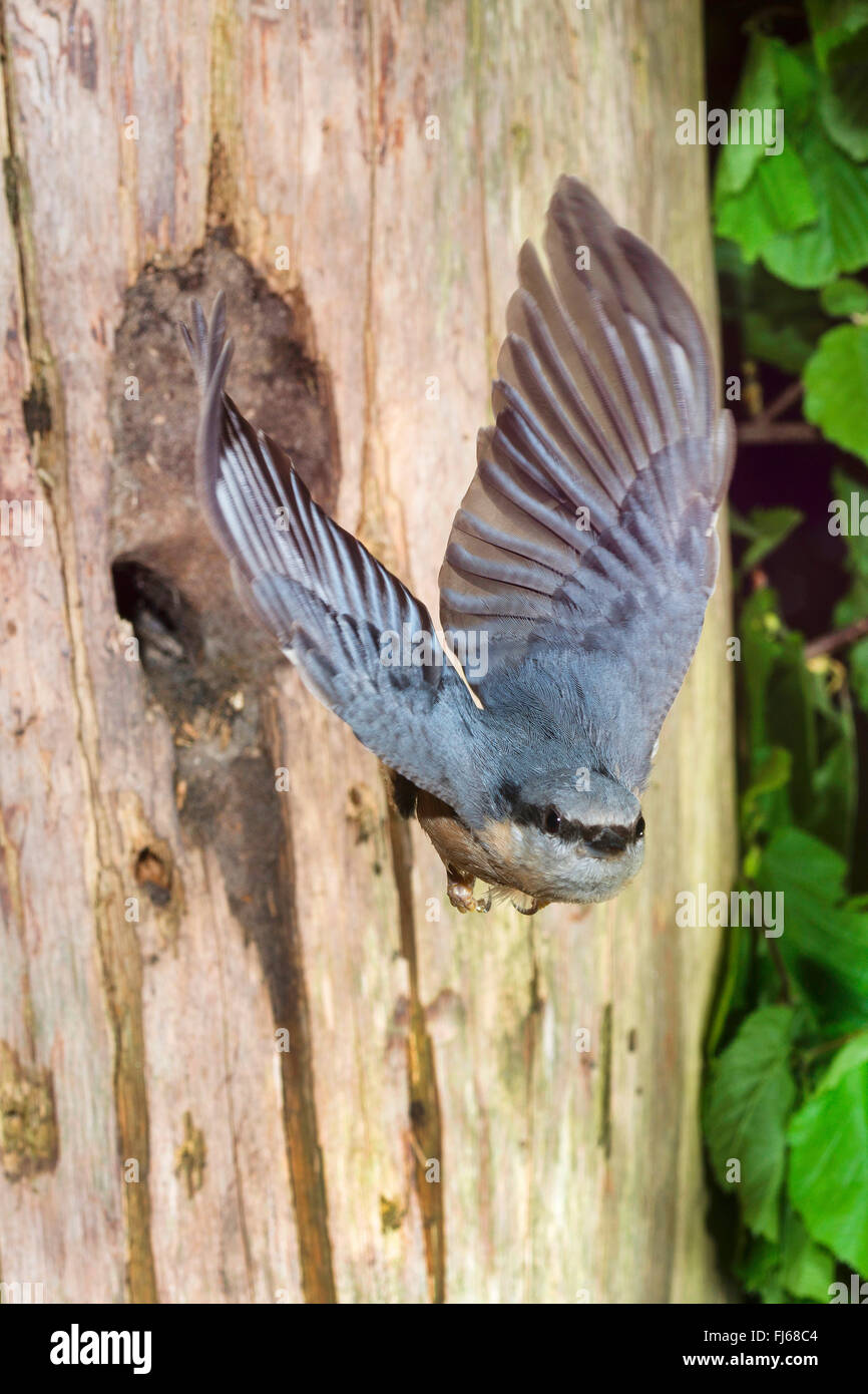 Eurasian nuthatch (Sitta europaea), taking off the breeding cave, entrance was made by the bird smaller with clay, - Stock Image
