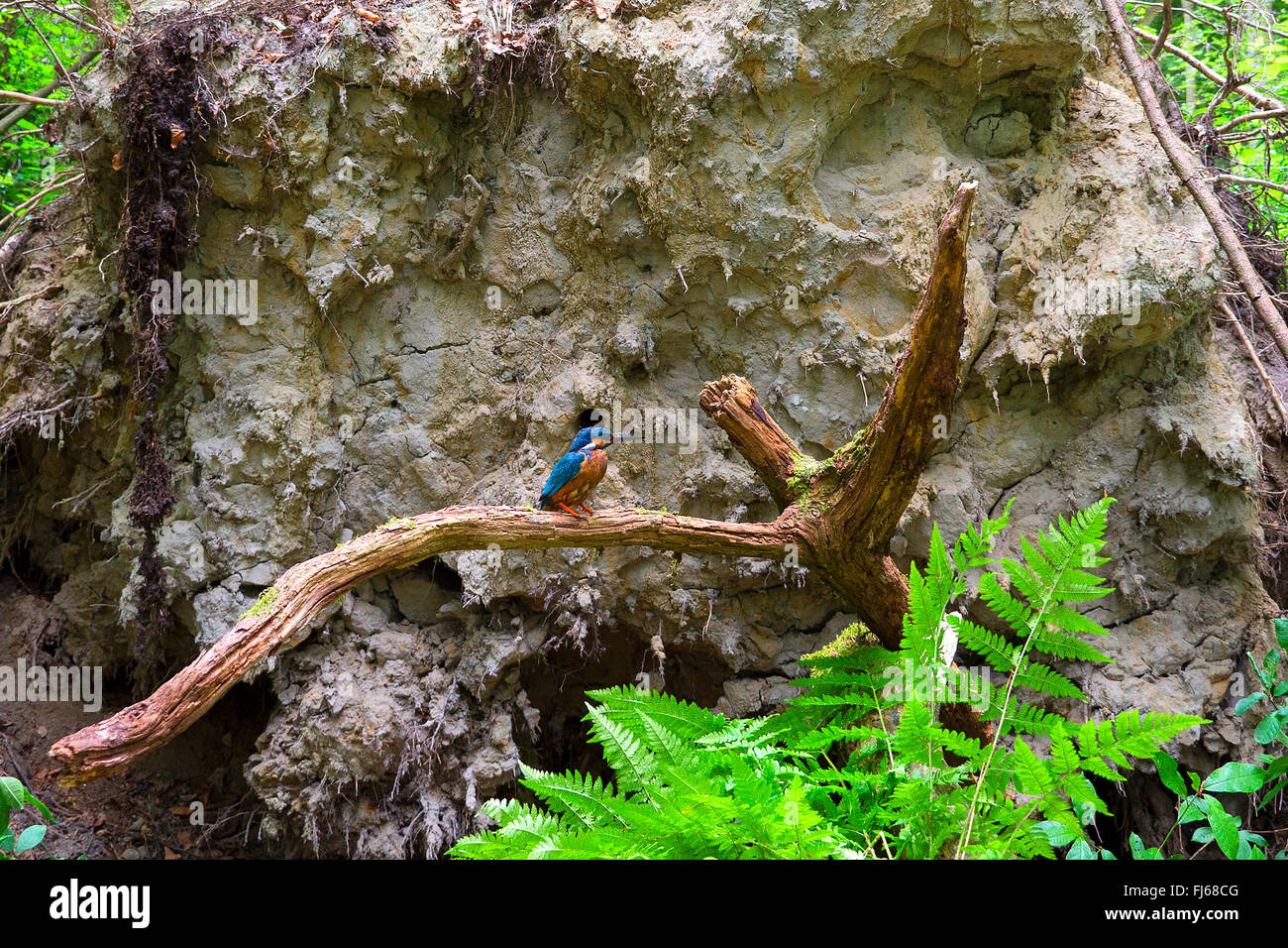 river kingfisher (Alcedo atthis), in front of the breeding cave in the roots of a fallen tree, Germany, North Rhine - Stock Image