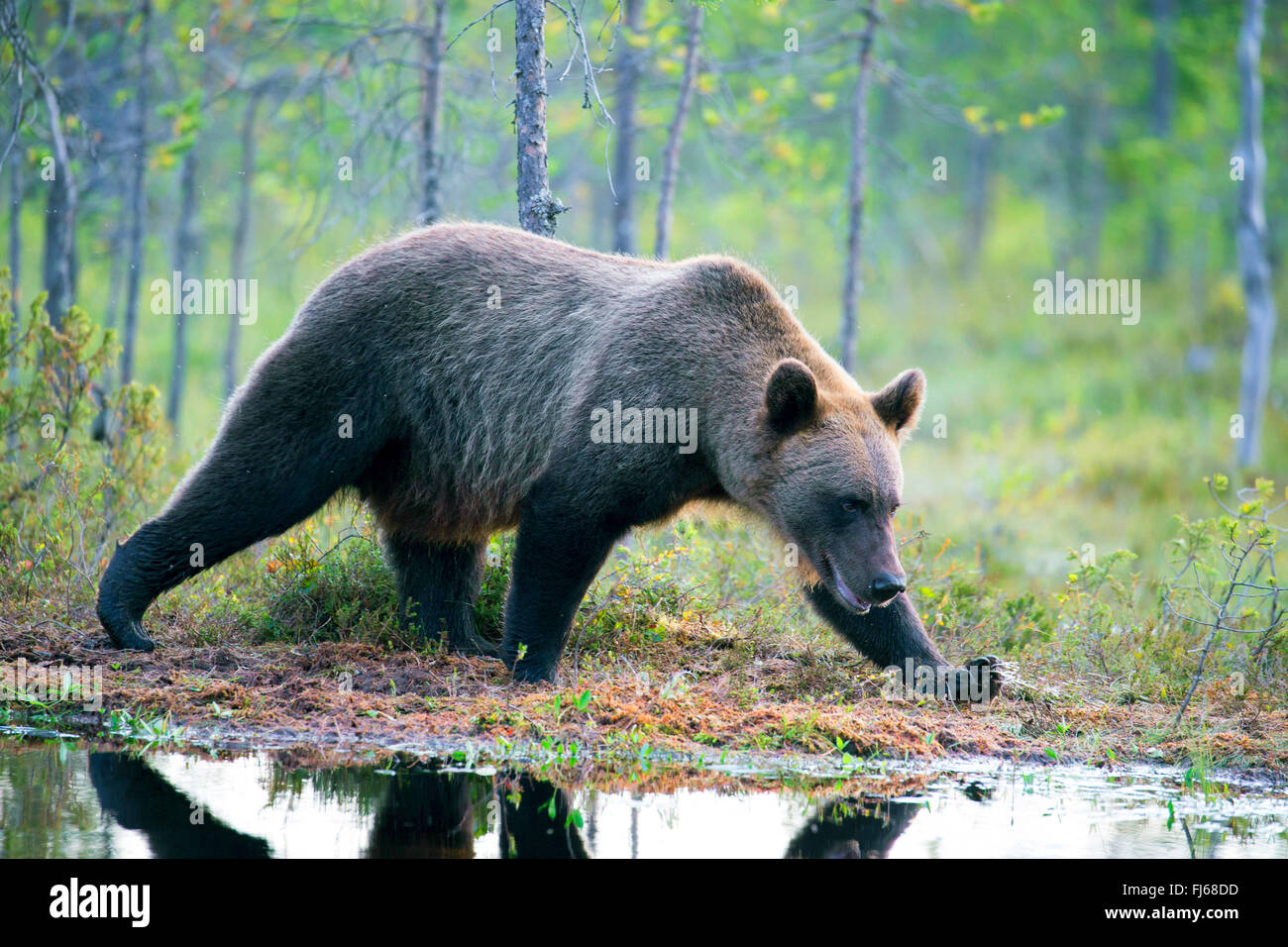 European brown bear (Ursus arctos arctos), walking on the lakefront in a forest, Finland, Kajaani Region Kuhmo, - Stock Image