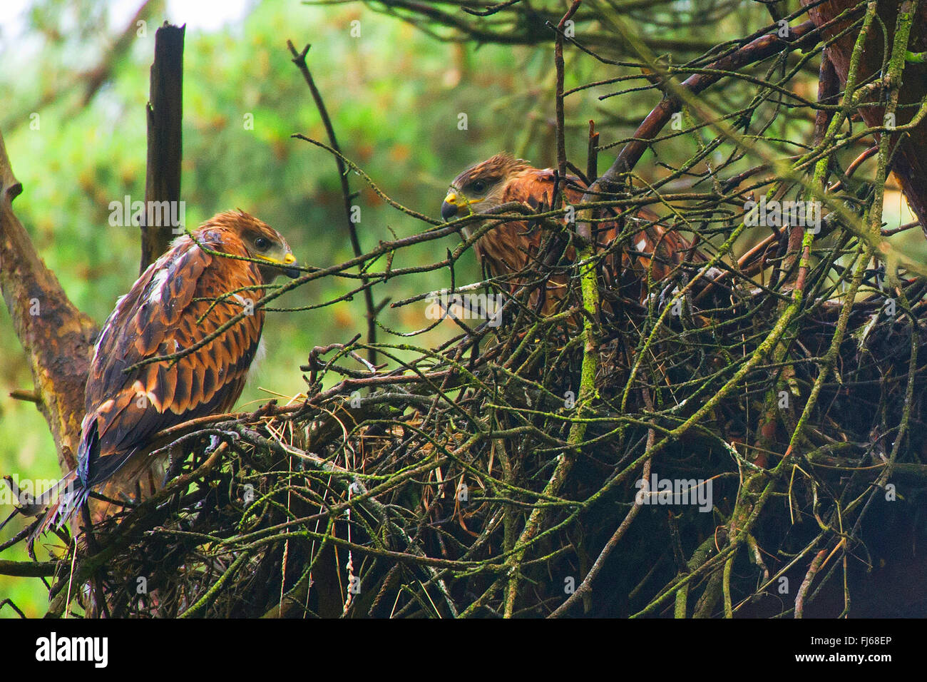 red kite (Milvus milvus), two young birds at the eyry on a tree, Germany, North Rhine-Westphalia - Stock Image