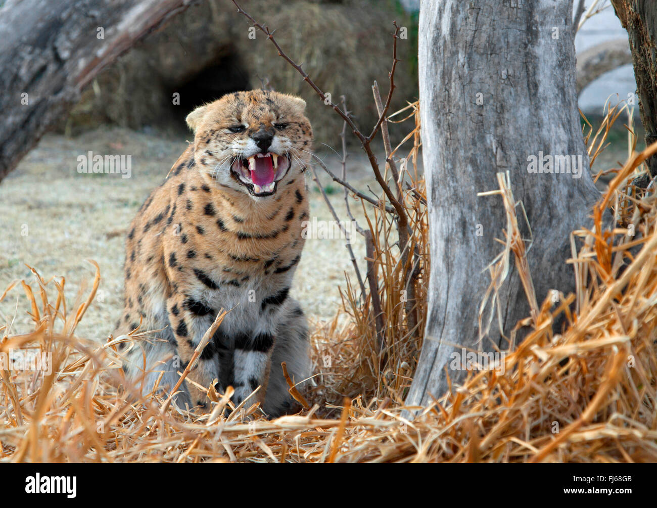 serval (Leptailurus serval, Felis serval), sitting on the ground at a dead tree and snarling, South Africa - Stock Image