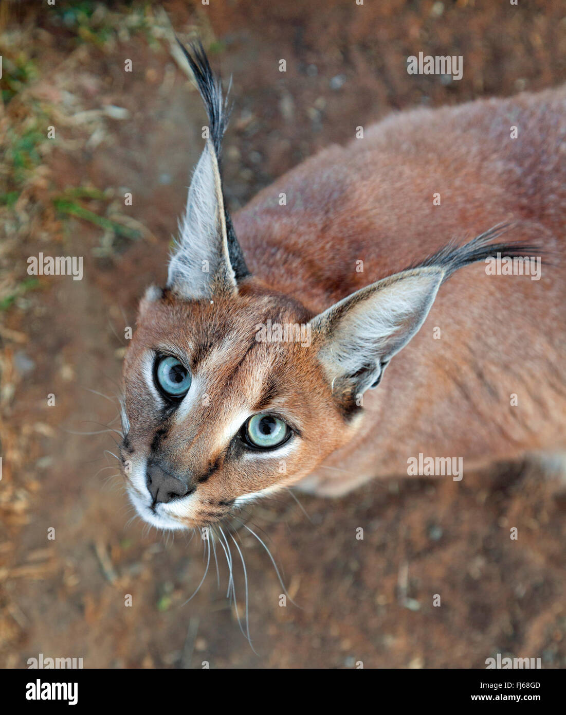 caracal (Caracal caracal, Felis caracal), looking up, portrait, South Africa - Stock Image