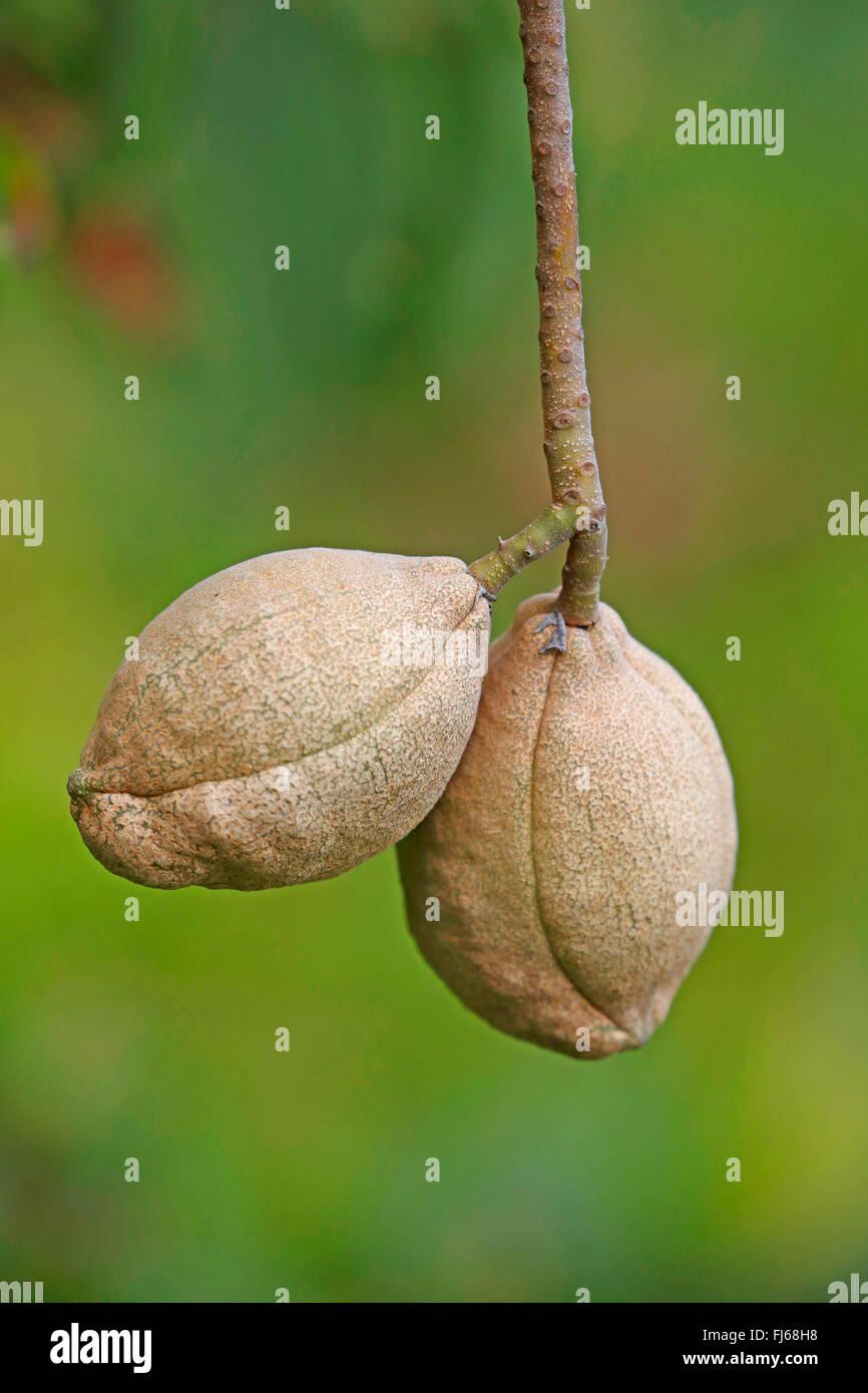 California buckeye (Aesculus californica), fruits Stock Photo