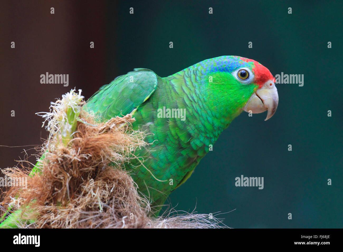 green-cheeked amazon (Amazona viridigenalis), with corn cob - Stock Image