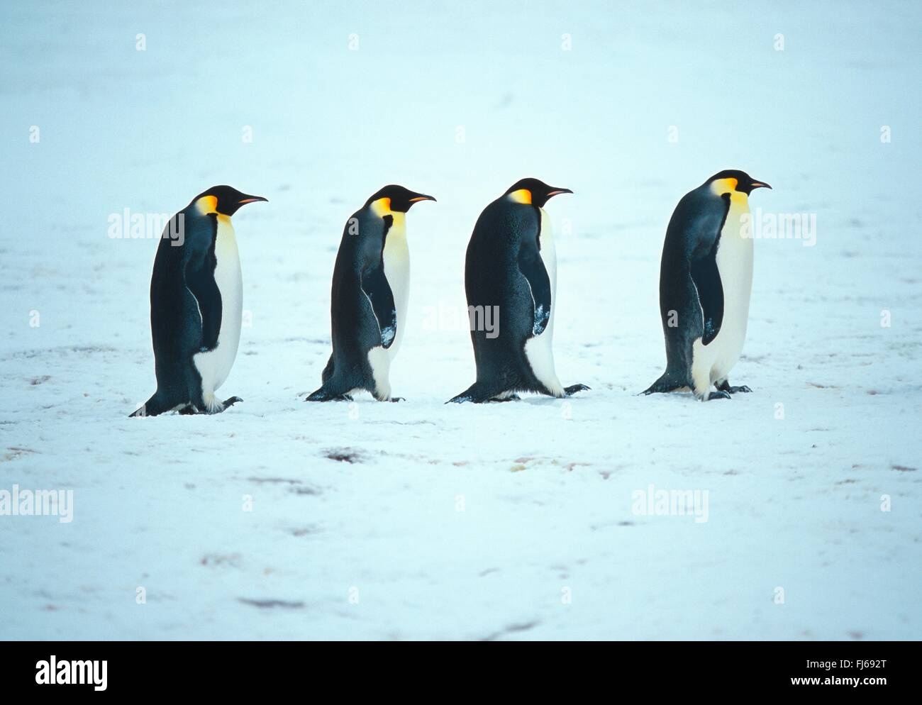 Emperor penguin (Aptenodytes forsteri), walking through the snow one behind the other , Antarctica - Stock Image