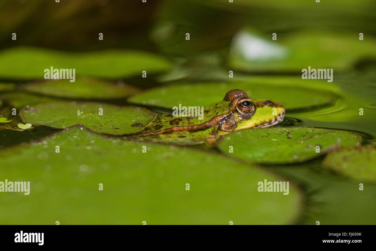 European edible frog, common edible frog (Rana kl. esculenta, Rana esculenta, Pelophylax esculentus), camouflaged - Stock Image
