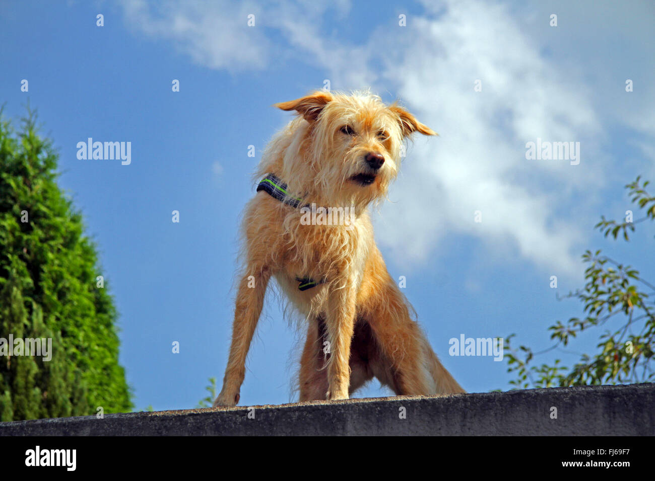 mixed breed dog (Canis lupus f. familiaris), dog keep watching on a garage roof, Germany - Stock Image