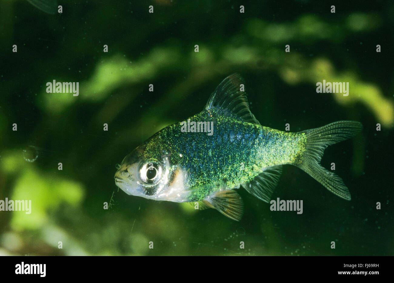 Sumatra barb, Tiger barb (Puntigrus tetrazona, Puntius tetrazona, Barbus tetrazona, Capoeta tetrazona), swimming - Stock Image