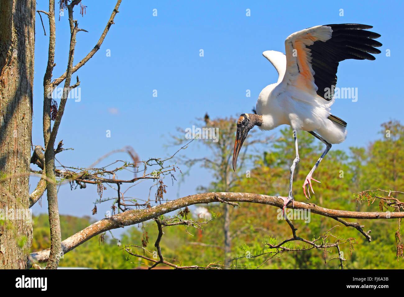 American wood ibis (Mycteria americana), flapping wings on a tree, USA, Florida, Gatorland - Stock Image
