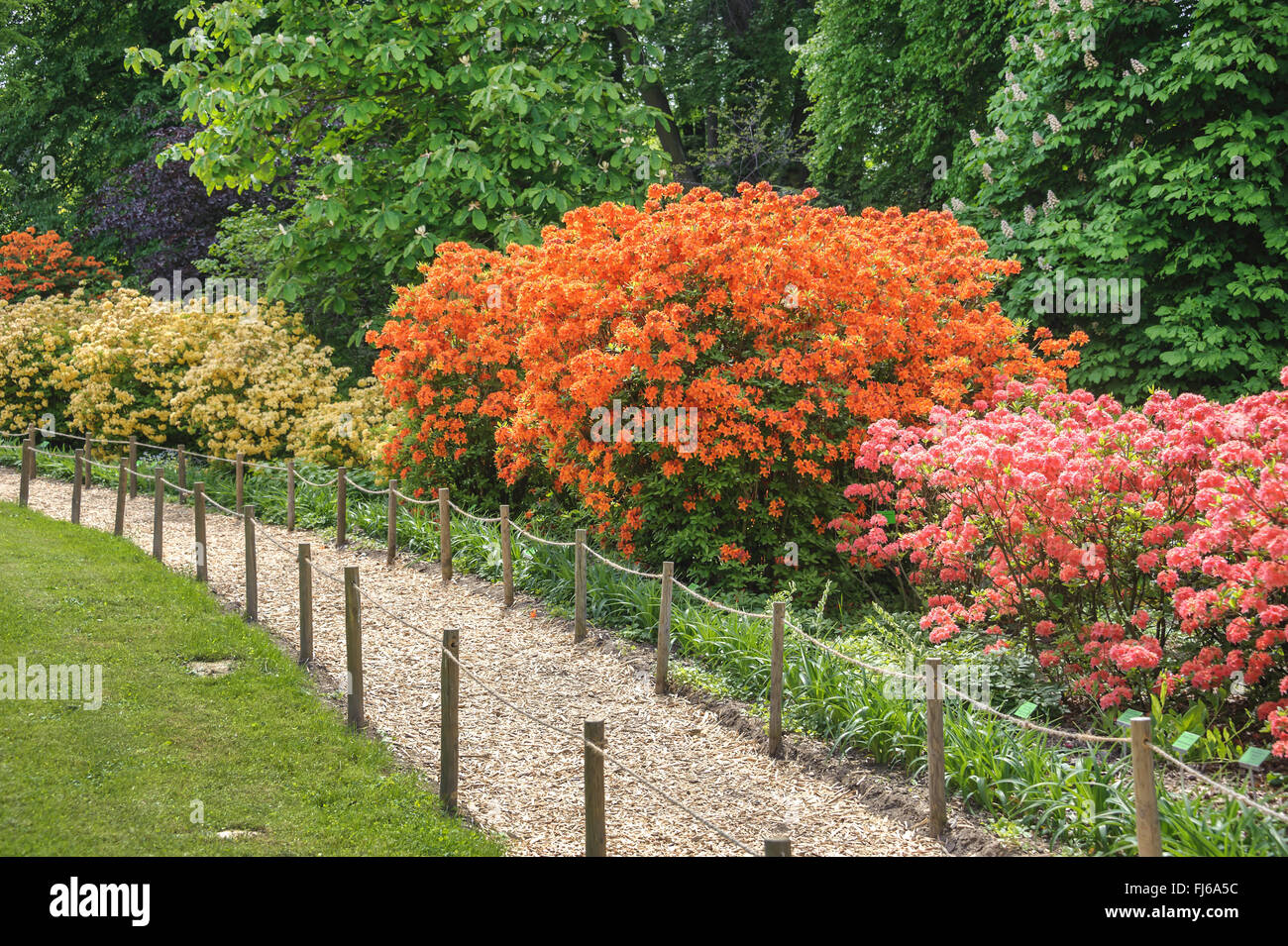 rhododendron (Rhododendron 'Golden Eagle', Rhododendron Golden Eagle), cultivar Golden Eagle, Poland, Niederschlesien, - Stock Image