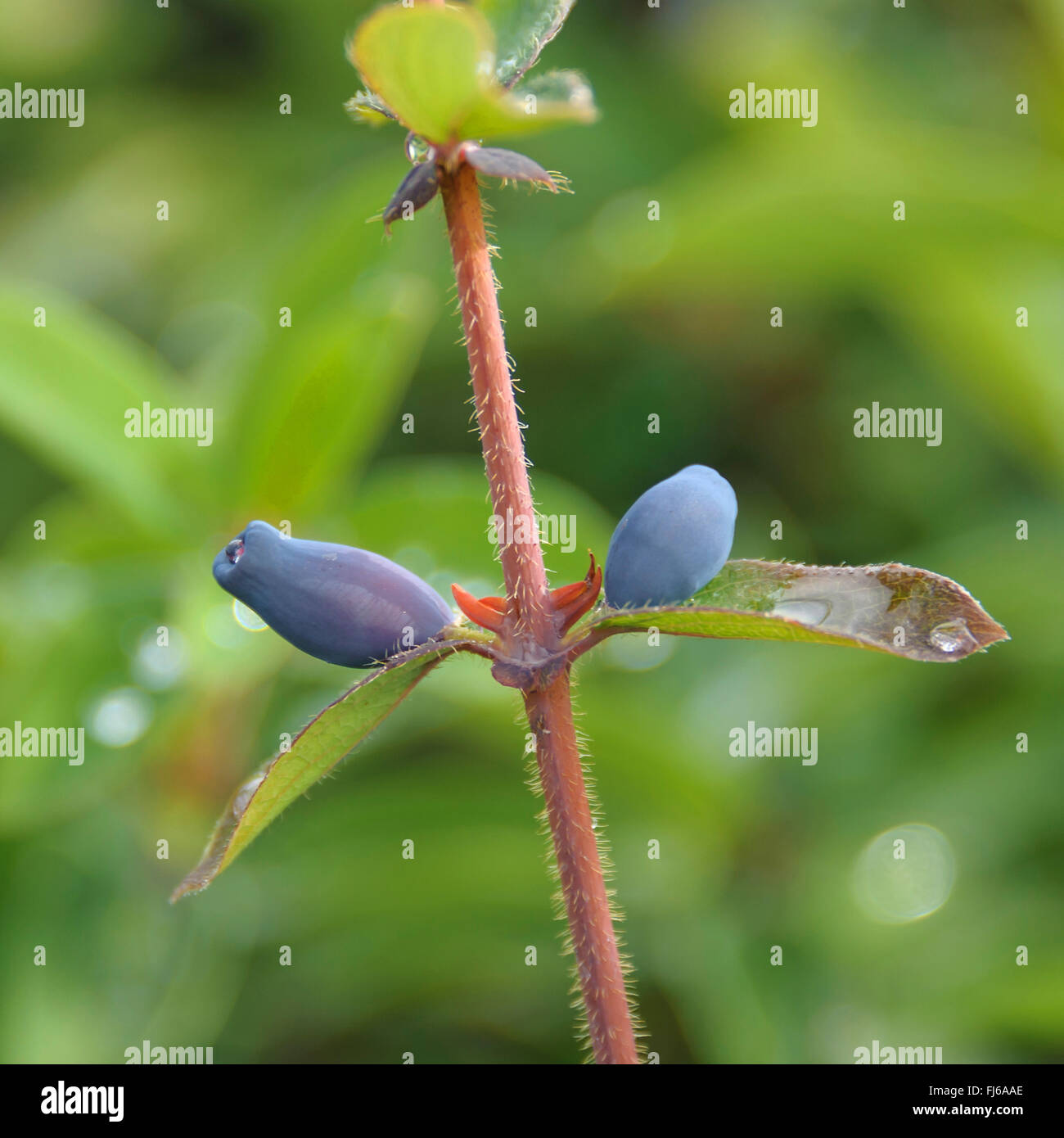 blue-berried honeysuckle, bluefly honeysuckle, sweetberry honeysuckle (Lonicera caerulea 'Balalaika', Lonicera - Stock Image