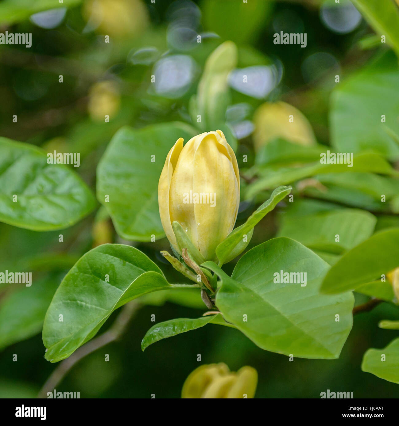 Magnolia Cucumber Tree Magnolia Acuminata Moegi Dori Magnolia