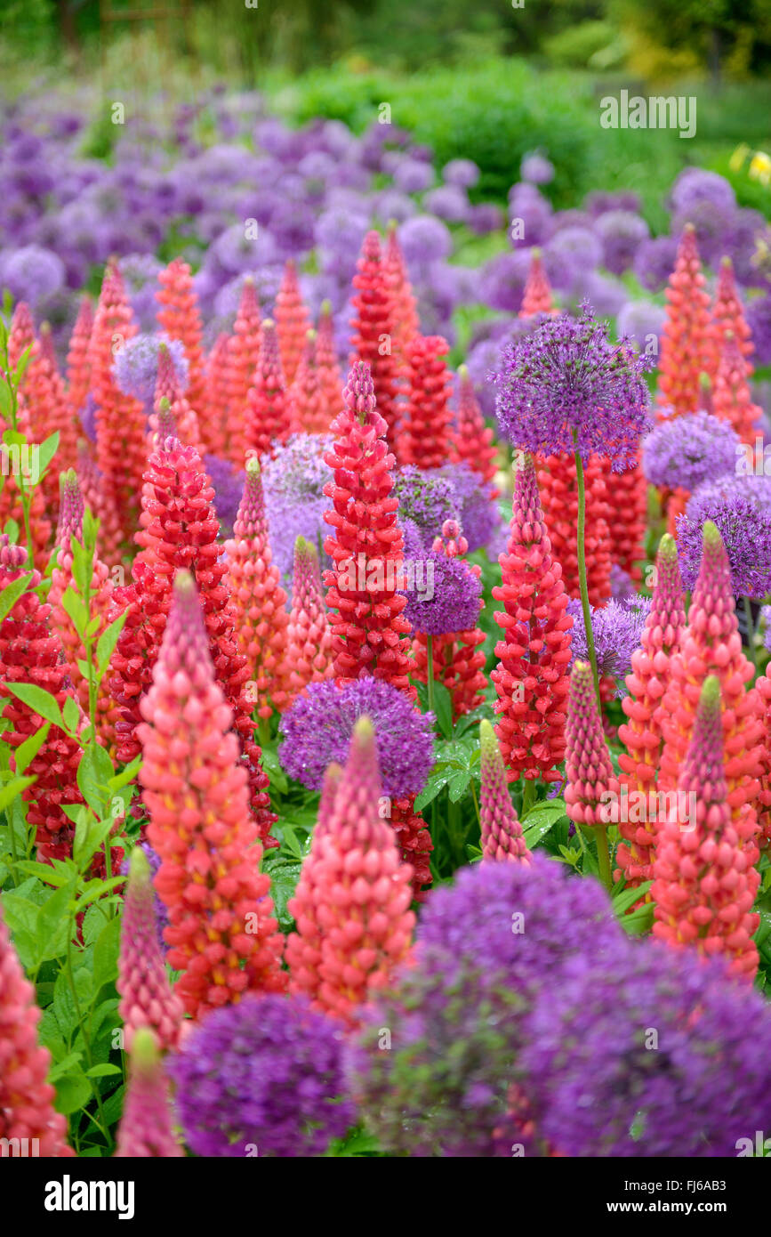 bigleaf lupine, many-leaved lupine, garden lupin (Lupinus polyphyllus), blooming in differenz colours, together - Stock Image