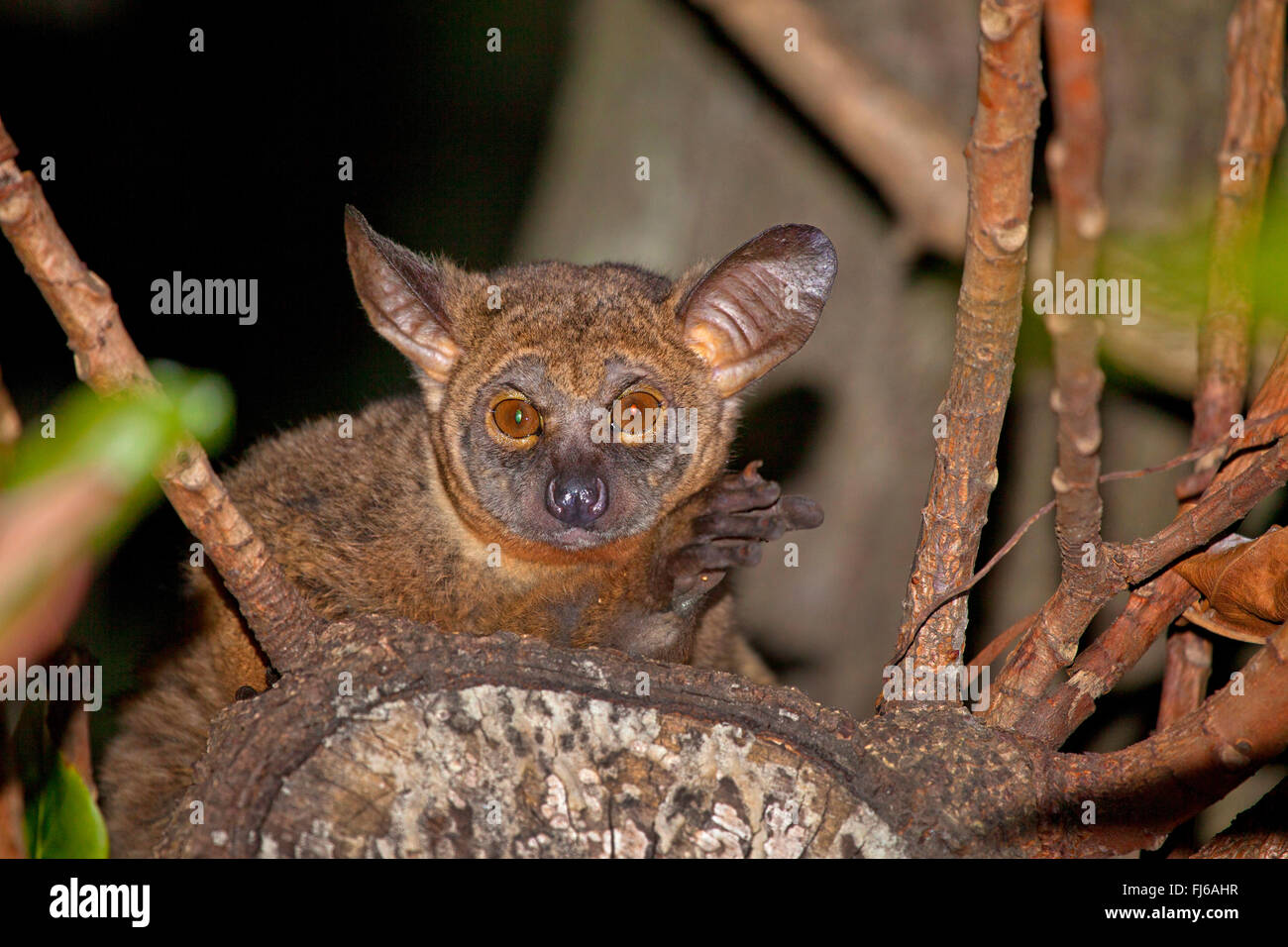 Senegal bush baby, lesser bush baby, Senegal galago (Galago senegalensis), sitting on a branch, in the evening, - Stock Image