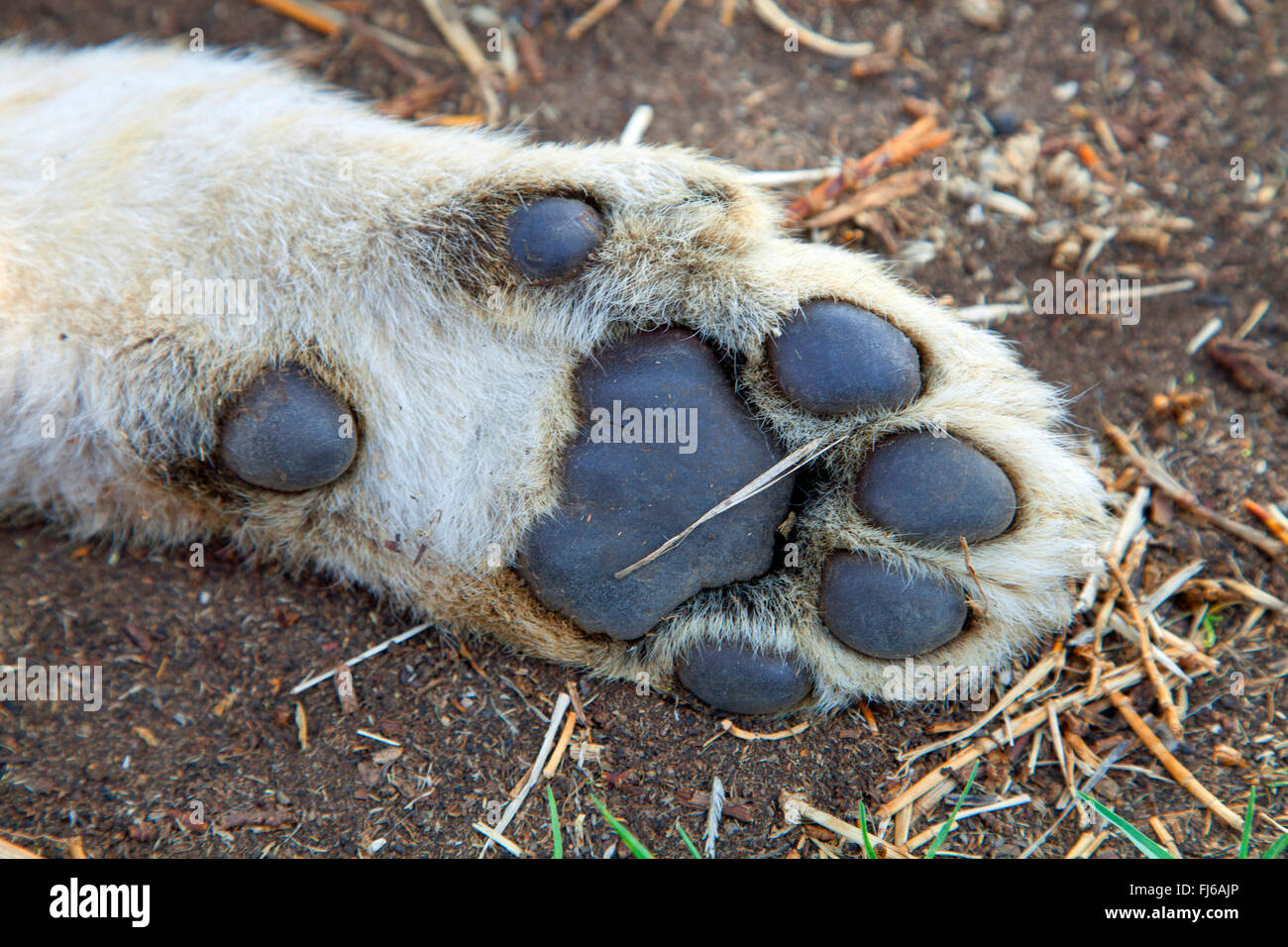 lion (Panthera leo), lion cub, bottom of a lion foot, South Africa - Stock Image
