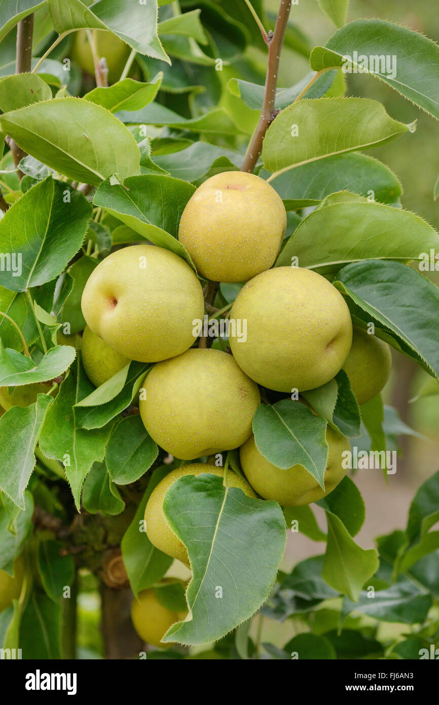 Asien pear (Pyrus pyrifolia 'An Ben Pear', Pyrus pyrifolia An Ben Pear), peras on a tree, cultivar An Ben - Stock Image