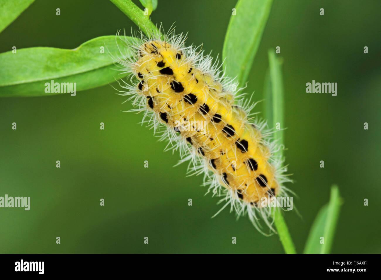 variable burnet (Zygaena ephialtes), caterpillar, Germany - Stock Image