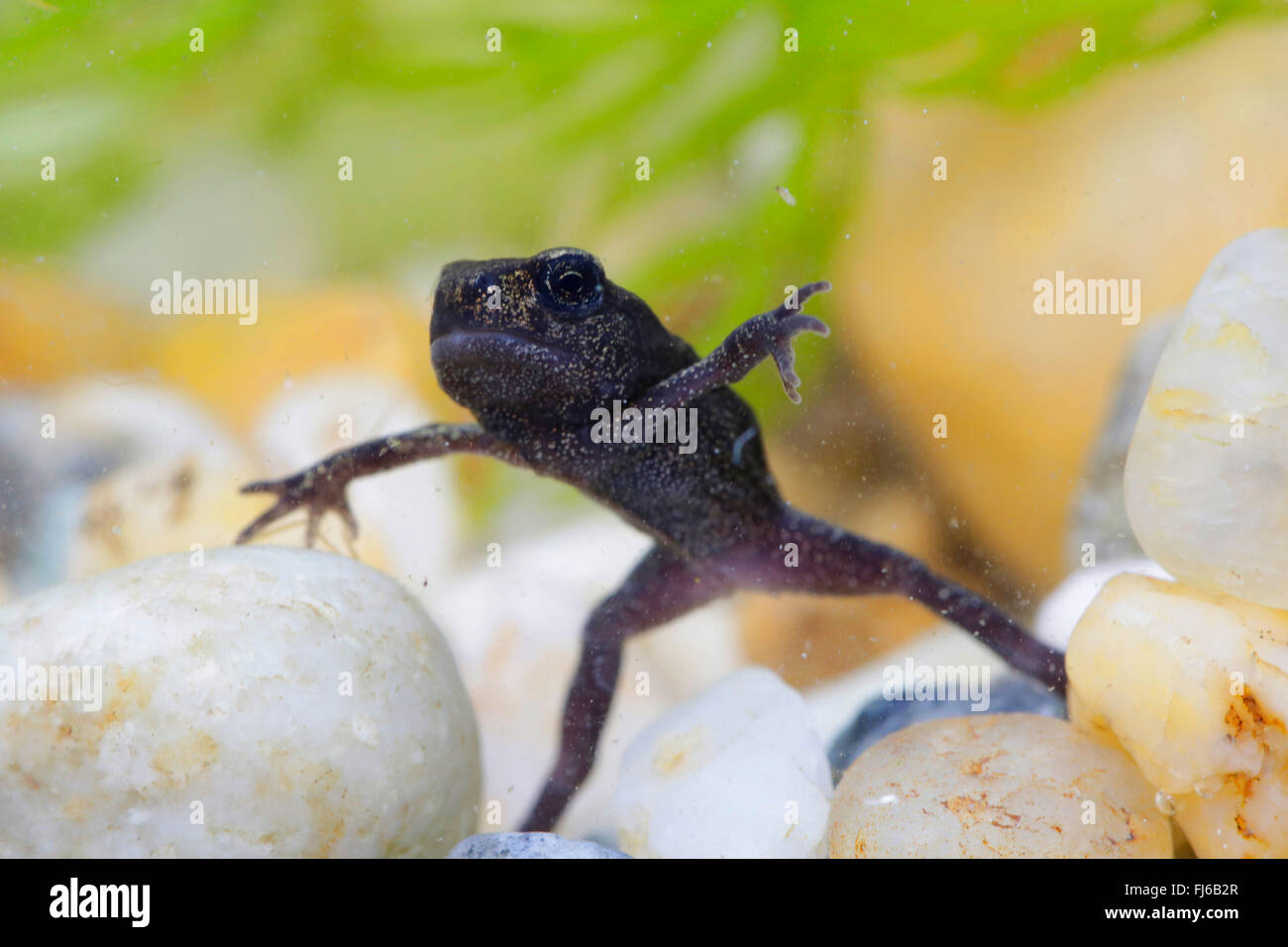 European common toad (Bufo bufo), fully developed young toad, under water photo, Germany, Bavaria - Stock Image