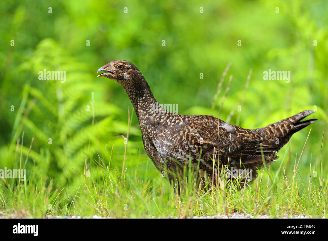 blue grouse (Dendragapus obscurus), female stands at roadside, Canada, British Columbia, Vancouver Stock Photo
