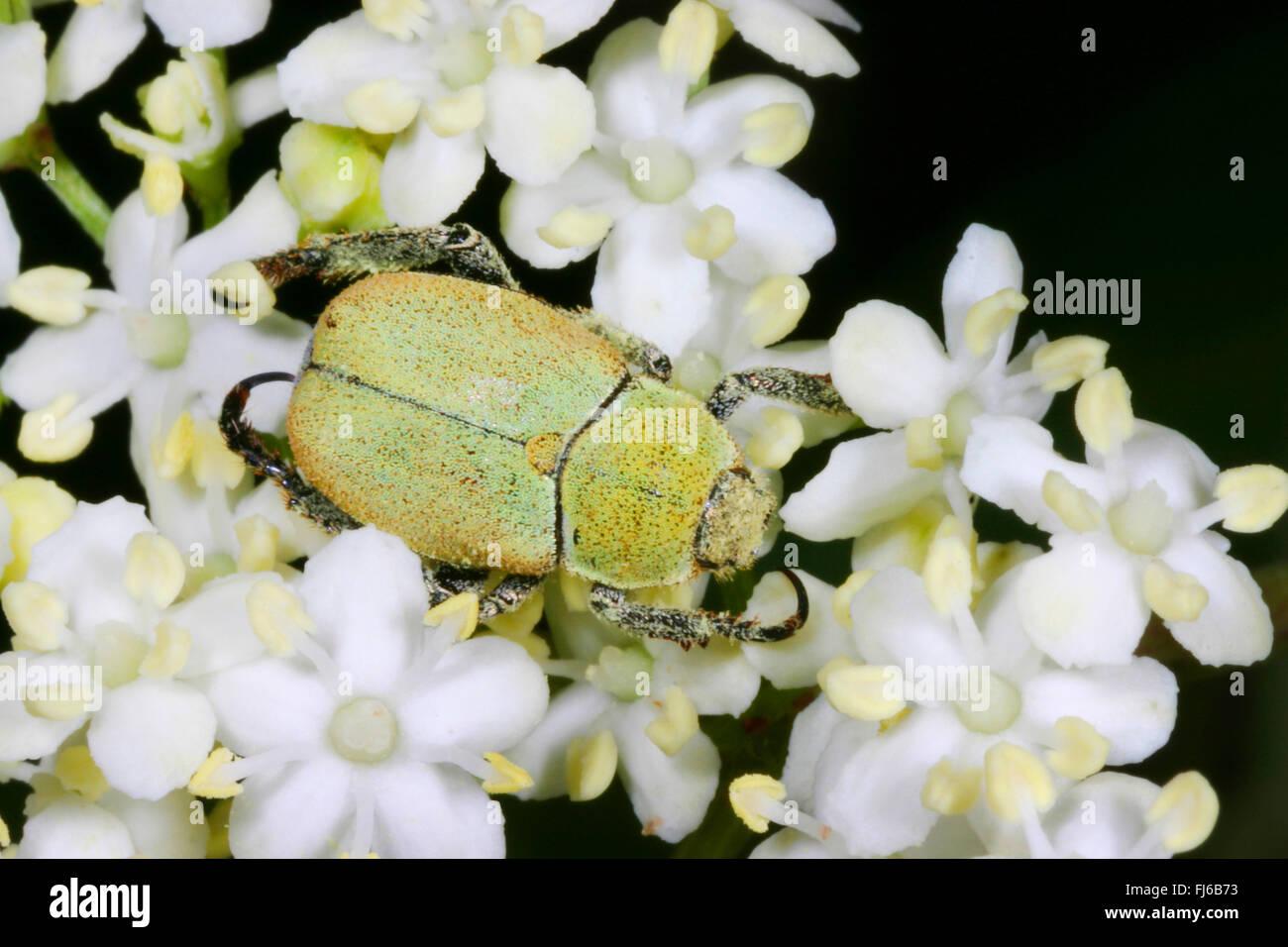 Scarab (Hoplia argentea, Hoplia farinosa), sitting on an umbellifer, Germany Stock Photo